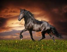 Arabian Horse Black Beauty - Arabský kôň Čierna kráska